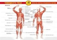 Помагалник: Човешкото тяло (мускули, костна и кръвоносна система). Учебно табло